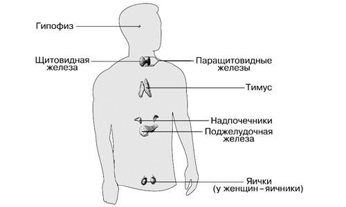 Эндокринная система человека