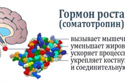 Основные функции соматотропина в организме человека